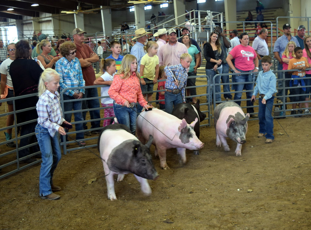 . Junior showman work swine around the ring during the Round Robin Showmanship Contest Friday, Aug. 11, 2017, at the Logan County Fair.