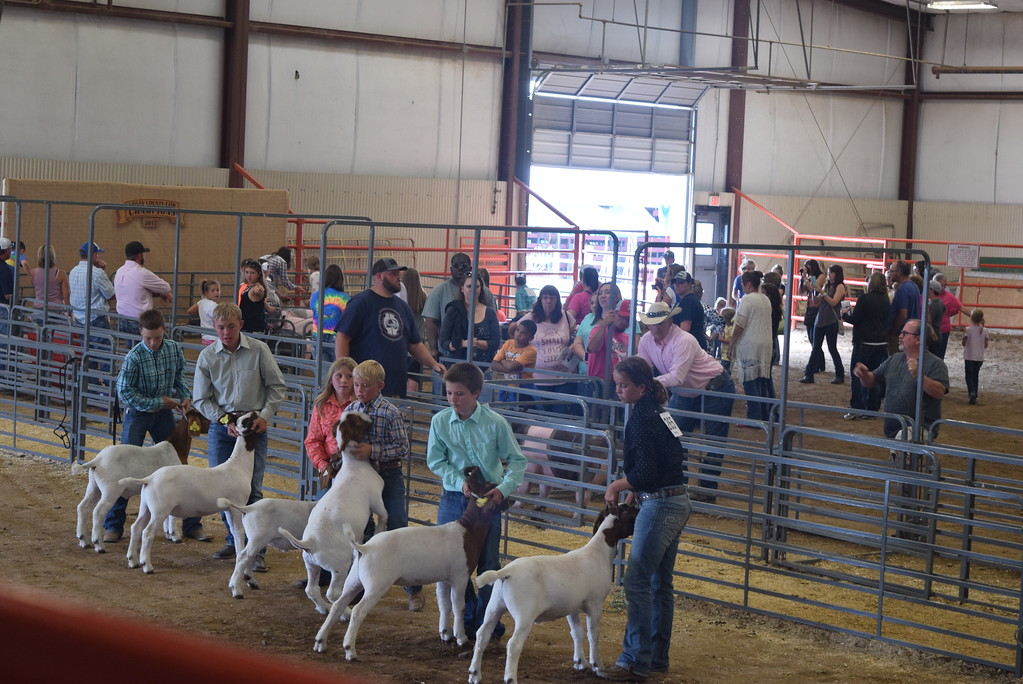 . The top goat showman position their animals during the Round Robin Showmanship Contest Friday, Aug. 11, 2017, at the Logan County Fair.