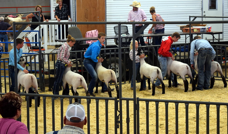 The top sheep showman position their animals during the Round Robin Showmanship Contest Friday, Aug. 11, 2017, at the Logan County Fair.