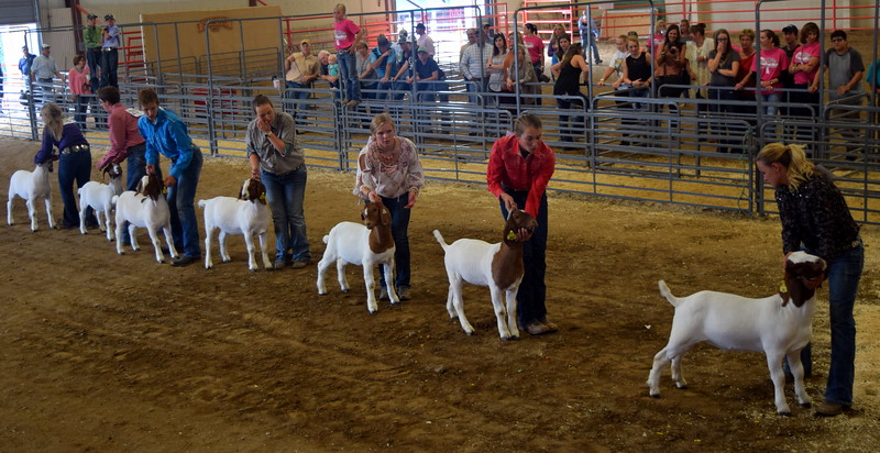 Senior showman position their goats during the Round Robin Showmanship Contest Friday, Aug. 11, 2017, at the Logan County Fair.