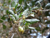 California scrub oak.