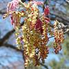 Lovely, no?<br /> Oak tree blossom
