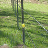 this daffodil struck me as so forlorn, wanting so badly to be on the other side of the fence
