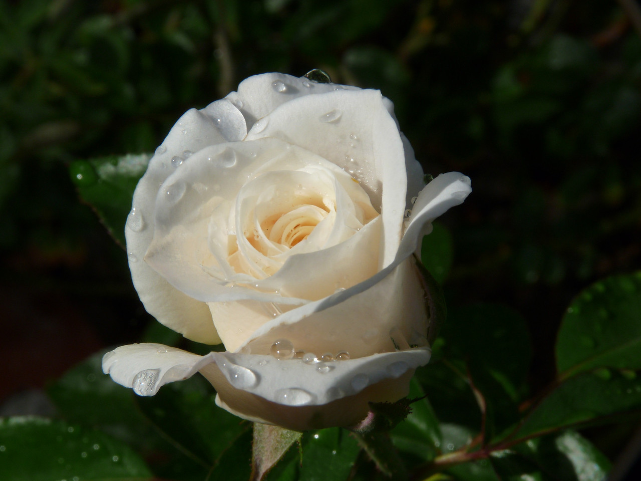 As the Hot Shot pointed out to me, we don't ever want to become so jaded that we turn a blind eye to a lovely dew-covered rose!