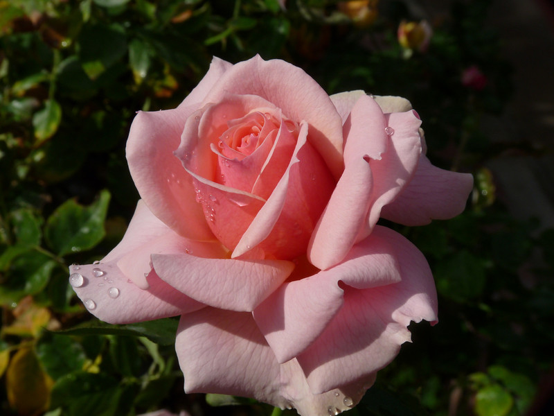 maybe the subject matter is trite, but man, that's one gorgeous rose!  If I do say so myself!