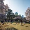 Tokyo (Shijuku Gyoen) - Sakuras !