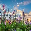 lompoc flowers-0480-0480