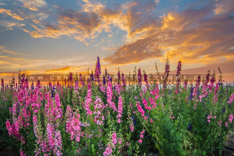 lompoc flowers-0494-0494