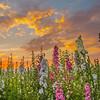 lompoc flowers-0506-0506