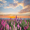 lompoc flowers-0493-0493