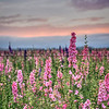 lompoc flowers_0524-