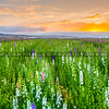 lompoc flowers-0461-
