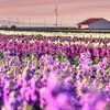Lompoc flowers 0879
