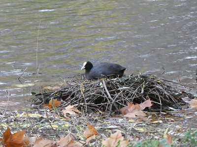 Coot on her nest in St. James's park