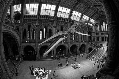Hope the blue whale hovering above NHM visitors (b/w)