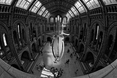 Hope the blue whale suspended aloft Hintze Hall (b/w)