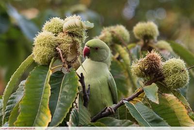 Hyde Park parrot