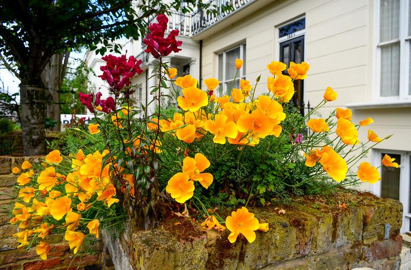 California poppy in Notting Hill, London.