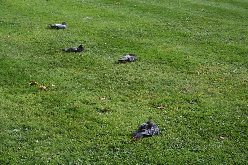 Resting Pigeons in Victoria Embankment Gardens.  Refugees from Trafalgar Square.