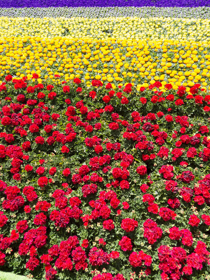 Geraniums, marigolds, ageratum, and petunias