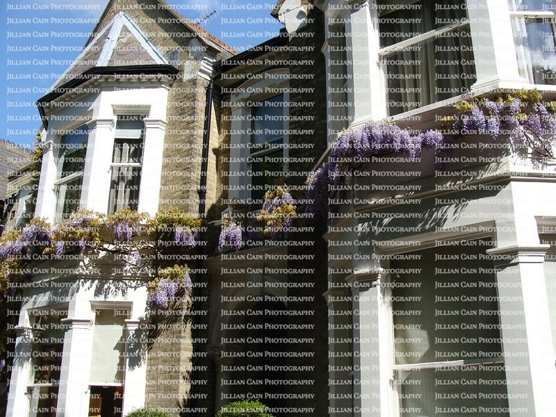 Wisteria blooming along home's facade