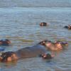 Hippo pod in St Lucia narrows