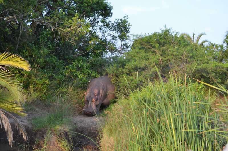 Hippos returning to the water