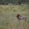 Lions at Hluhluwe-Umfolozi Game Reserve