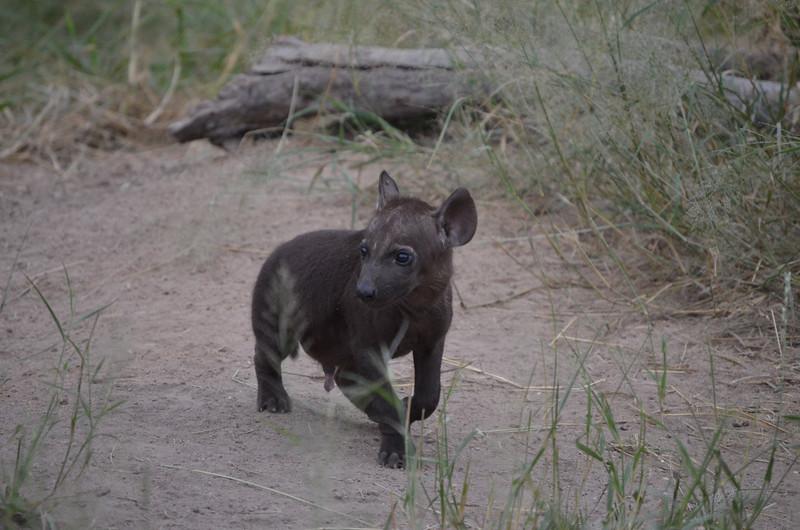 Hyena cub - less than a week old- Kruger
