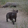 Hyena cub - less than a week old- Kruger