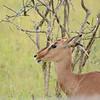 impala, Hluhluwe-Umfolozi Game Reserve