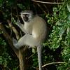 Vervet monkey  Mlilwane