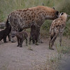 Hyena family with v. young cubs- Kruger