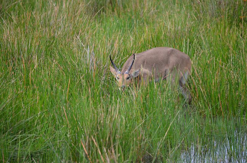 Reedbuck Isimangaliso wetland park