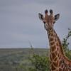 female griraffe