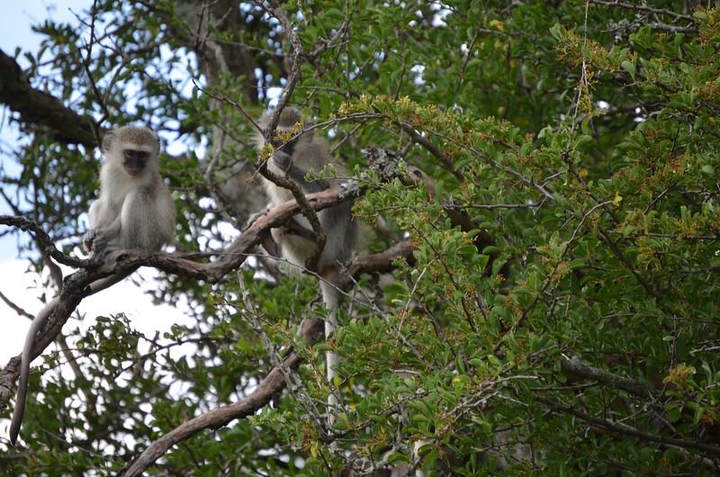 Vervet Monkeys at Hluhluwe-Umfolozi Game Reserve