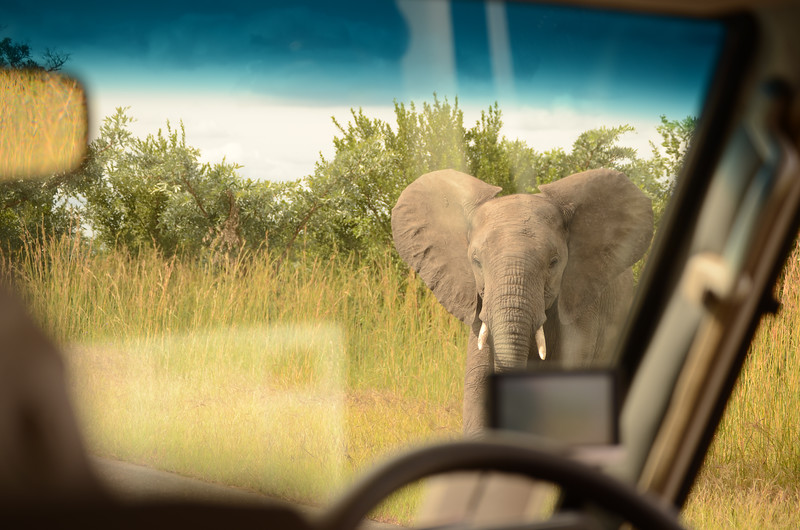 Kruger Elephant approaching the truck