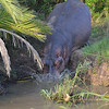 Hippos going back into the water