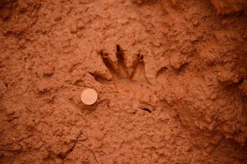 clawless otter(?) tracks at Mlilwane