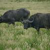 Buffalo at Isomangaliso