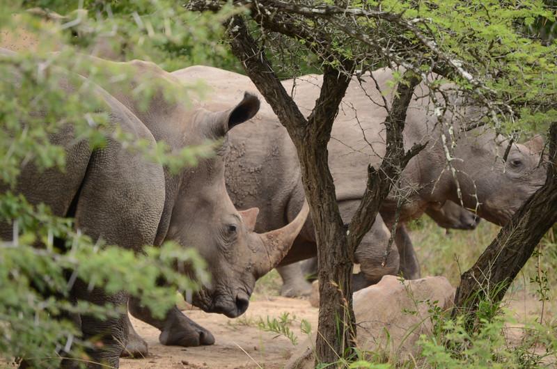white Rhino at Hluhluwe-Umfolozi Game Reserve