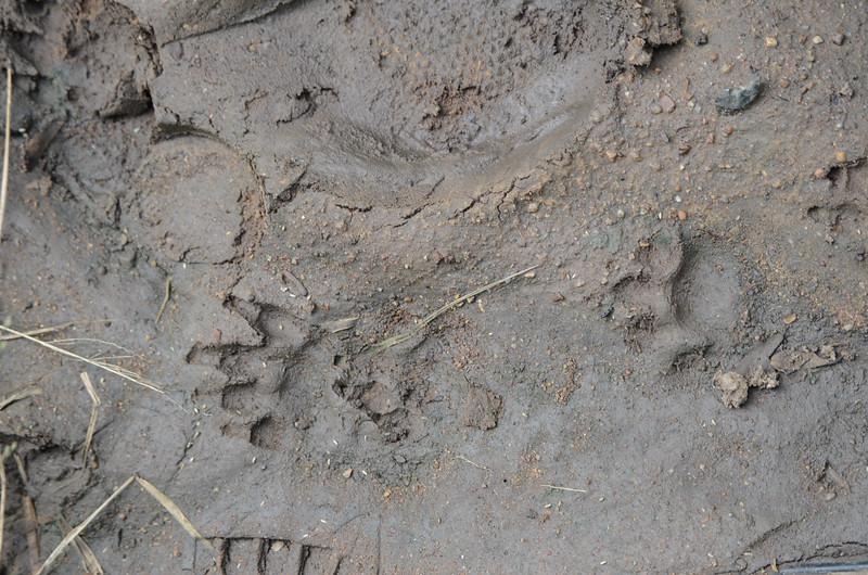 Honey badger tracks at Hluhluwe-Umfolozi Game Reserve