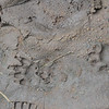 Honey badger tracks at Hluhluwe-Umfolozi Game Reserve