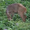 Bushbuck atIsimangaliso wetland park