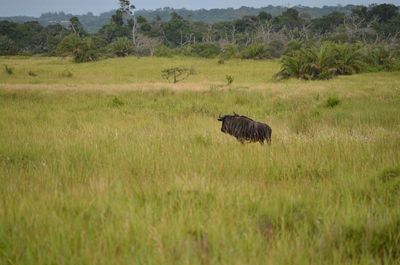 Blue wilderbeast
