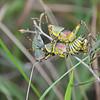 copulating crickets, Mliwane