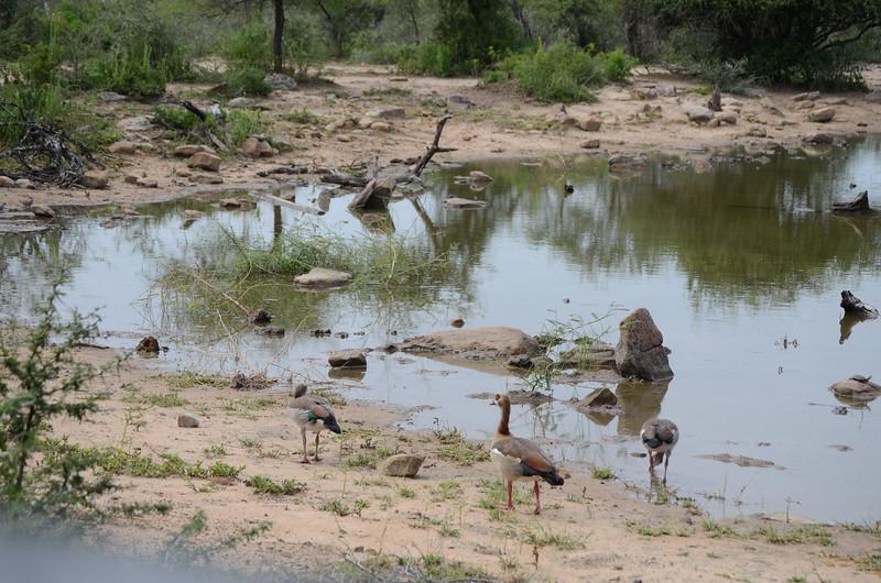 Egyptian geese at Hluhluwe-Umfolozi Game Reserve
