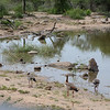 Egyptian geese at Hluhluwe-Umfolozi Game Reserve