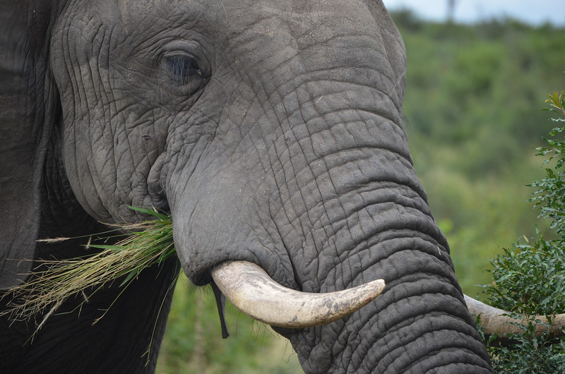 Solo Bull Elephant- Kruger