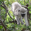 vervet monkey- Hluhluwe-Umfolozi Game Reserve